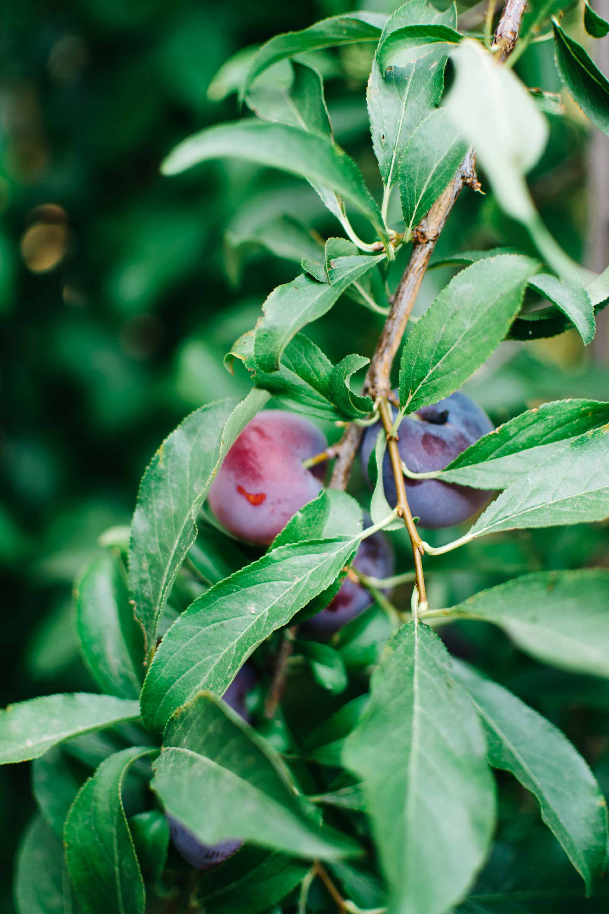 Sage Plum Jam